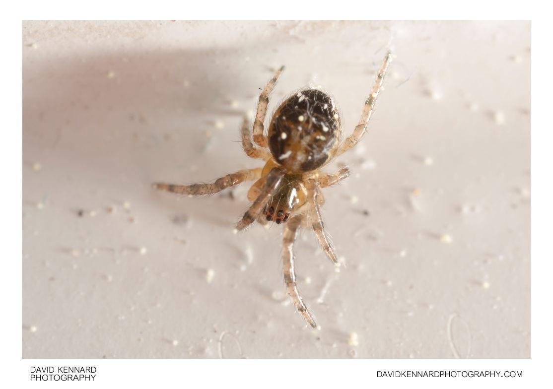 Zygiella x-notata spiderling