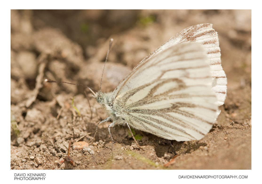 Female Green-veined White (Pieris napi) butterfly