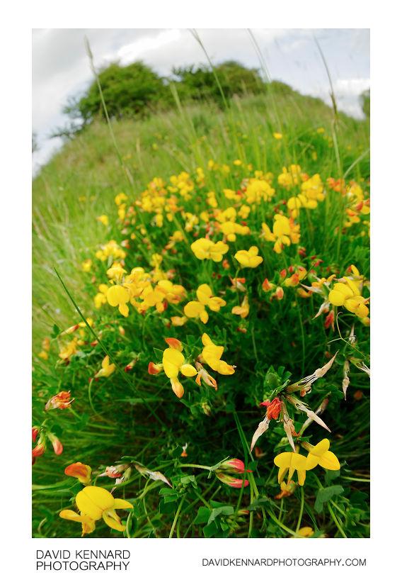Bird's-foot Trefoil (Lotus corniculatus) flowers