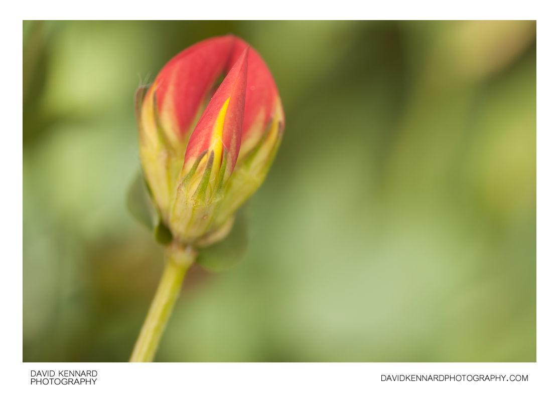 Bird's foot trefoil (Lotus corniculatus) flower buds