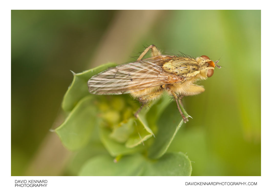 Common yellow dung fly (Scathophaga stercoraria)