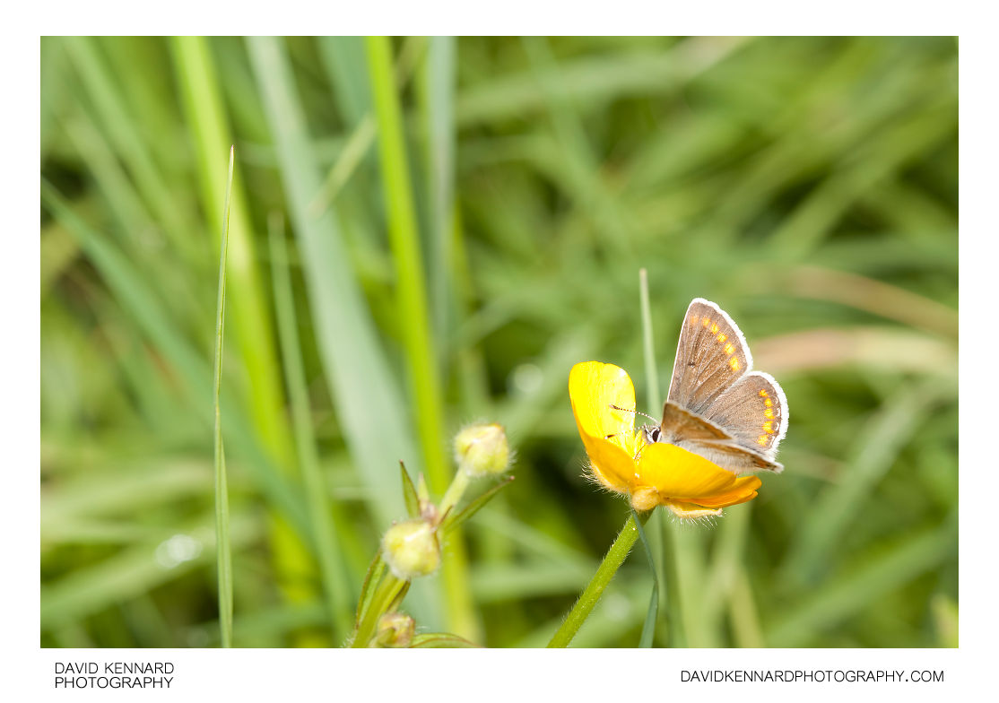 Common Blue butterfly - Polyommatus icarus (Female)