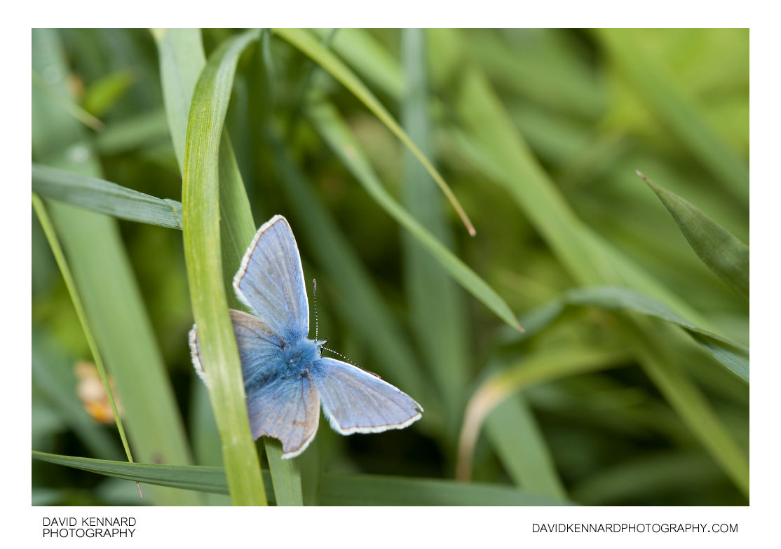 Common Blue butterfly - Polyommatus icarus (Male)