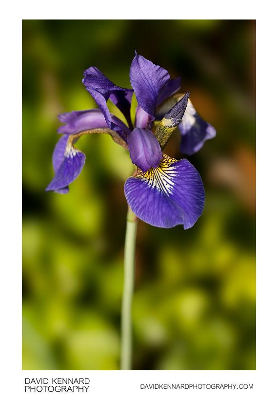 Iris sibirica 'Tropic night' flower