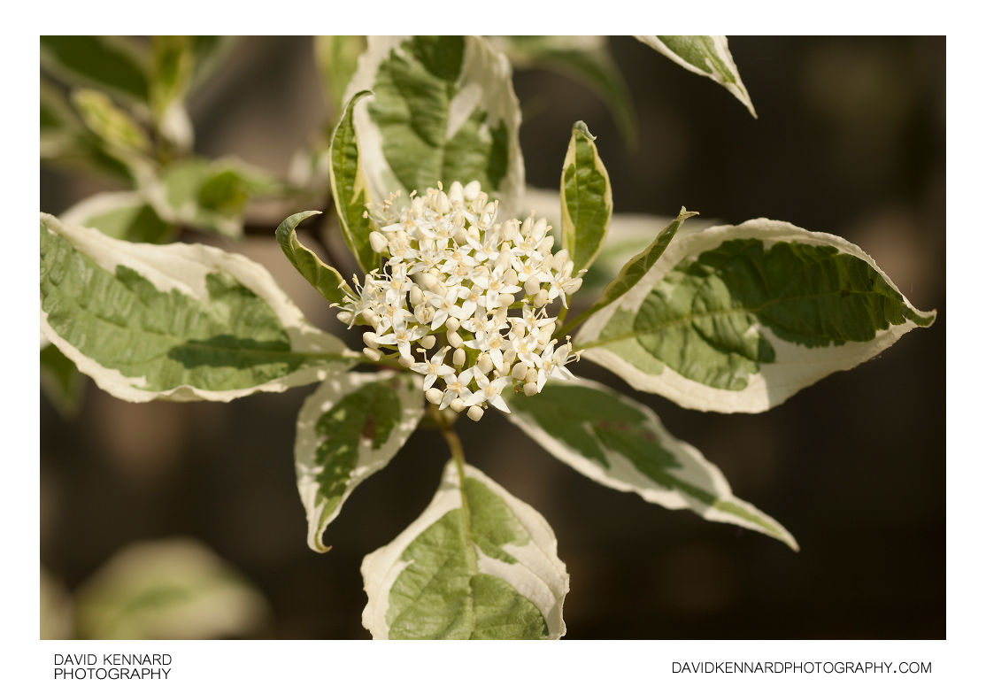 Cornus alba 'Elegantissima' Red Barked Dogwood