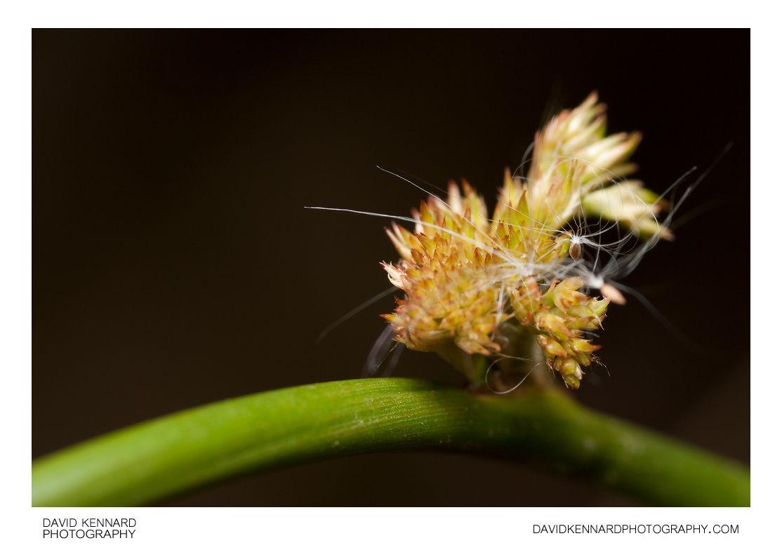 Juncus effusus 'Spiralis' flowers