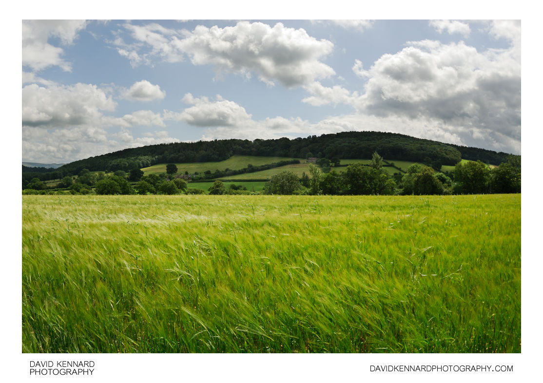 Green Barley and Hill