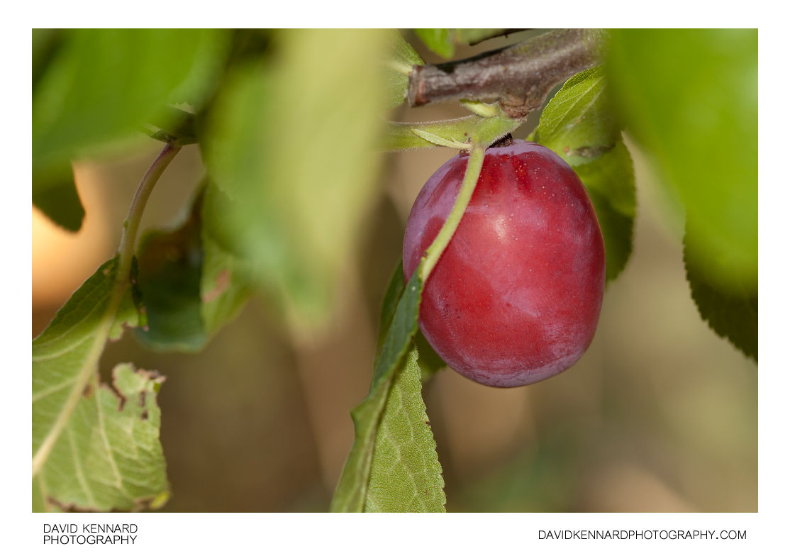 Victoria Plum (Prunus Domestica Victoria)