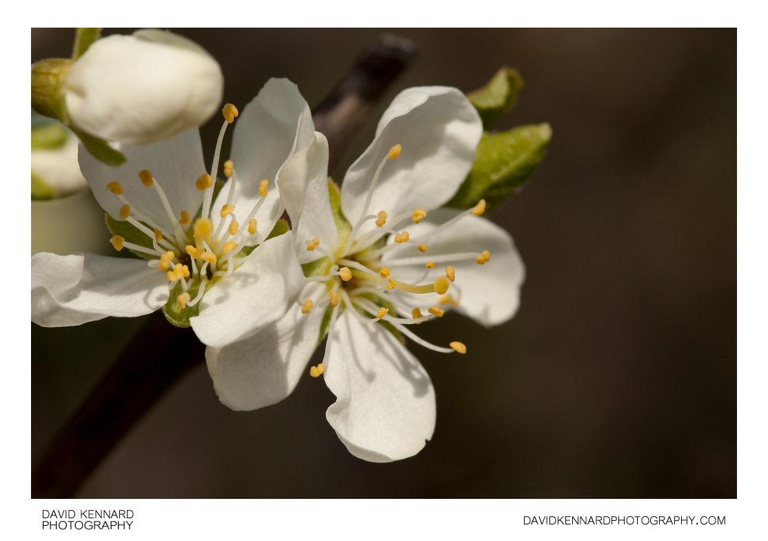 Victoria Plum (Prunus Domestica Victoria) Blossom