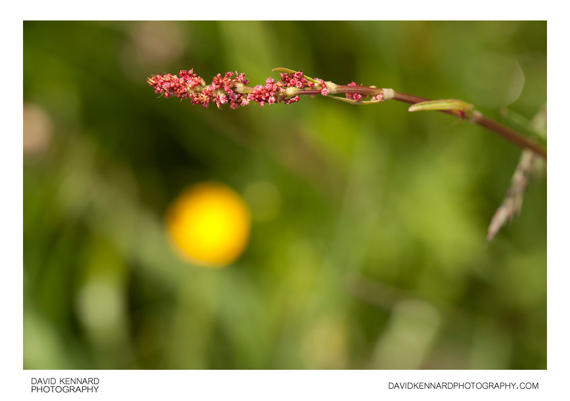Common Sorrel (Rumex acetosa)