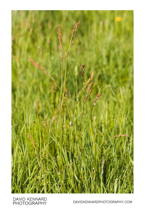 Common Sorrel (Rumex acetosa)