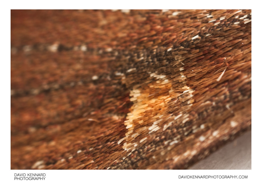 Bright-line Brown-eye (Lacanobia oleracea) Moth