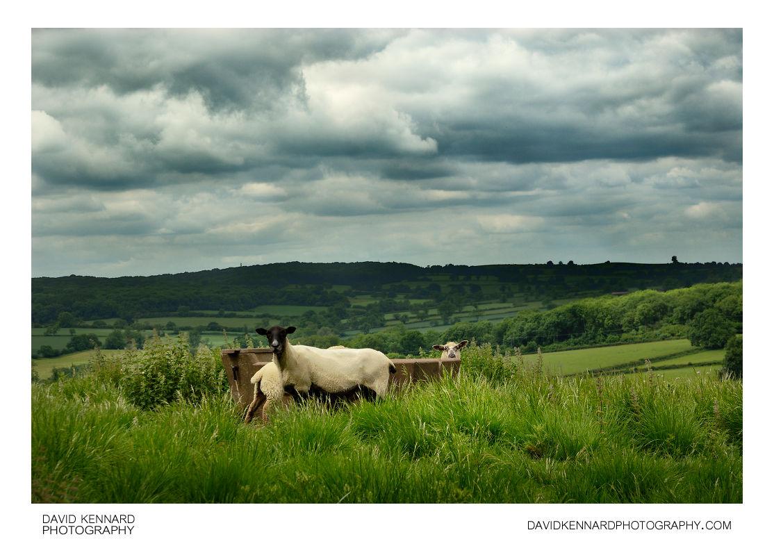 Sheep around water trough