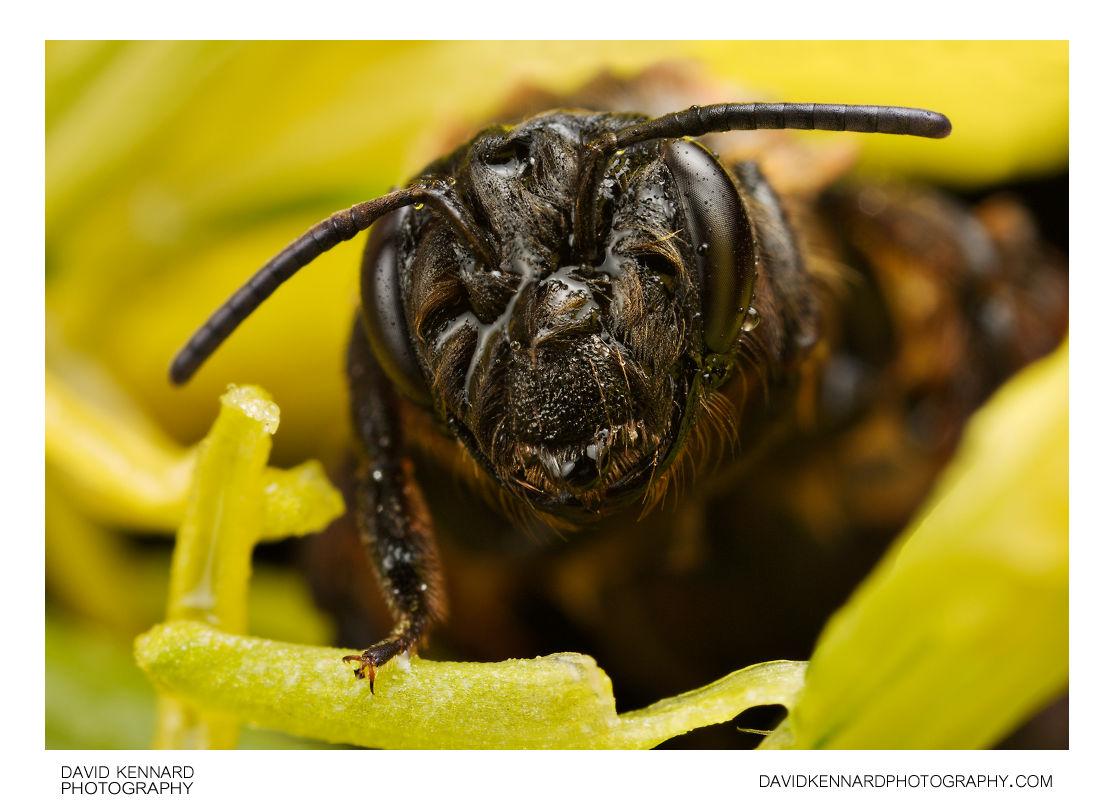 Wet Andrena nigroaenea Bee