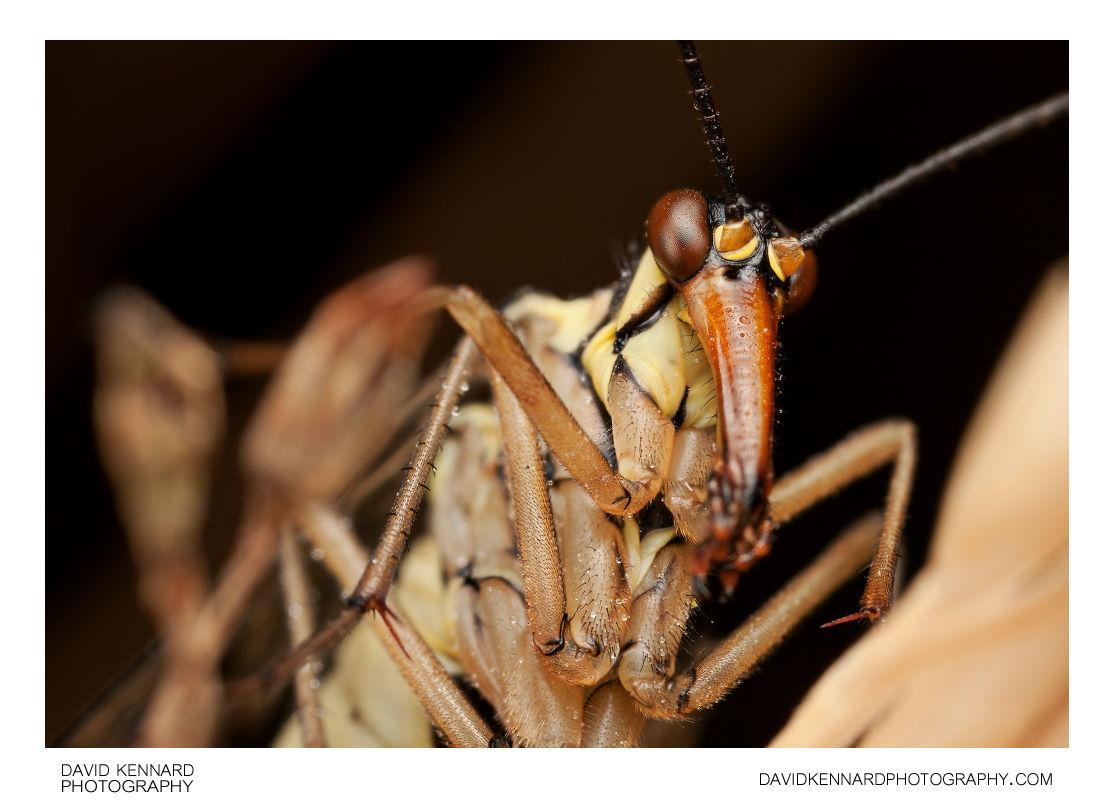 Common scorpionfly (Panorpa communis) female