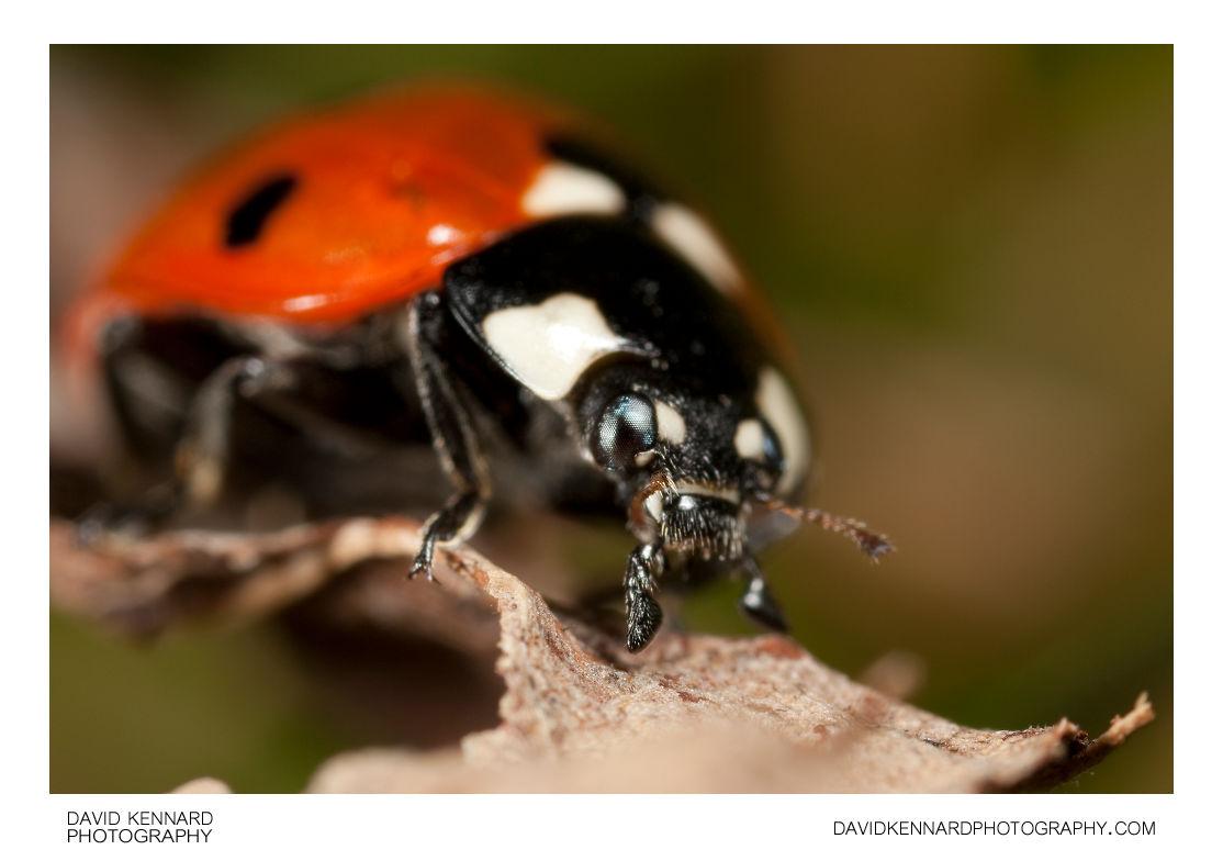 Seven-spotted ladybird Coccinella septempunctata