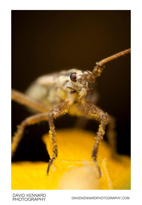 Leptopterna dolabrata (Meadow plant bug) nymph