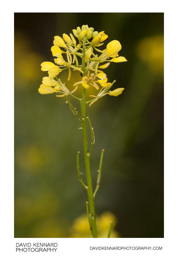 Charlock (Sinapis arvensis)