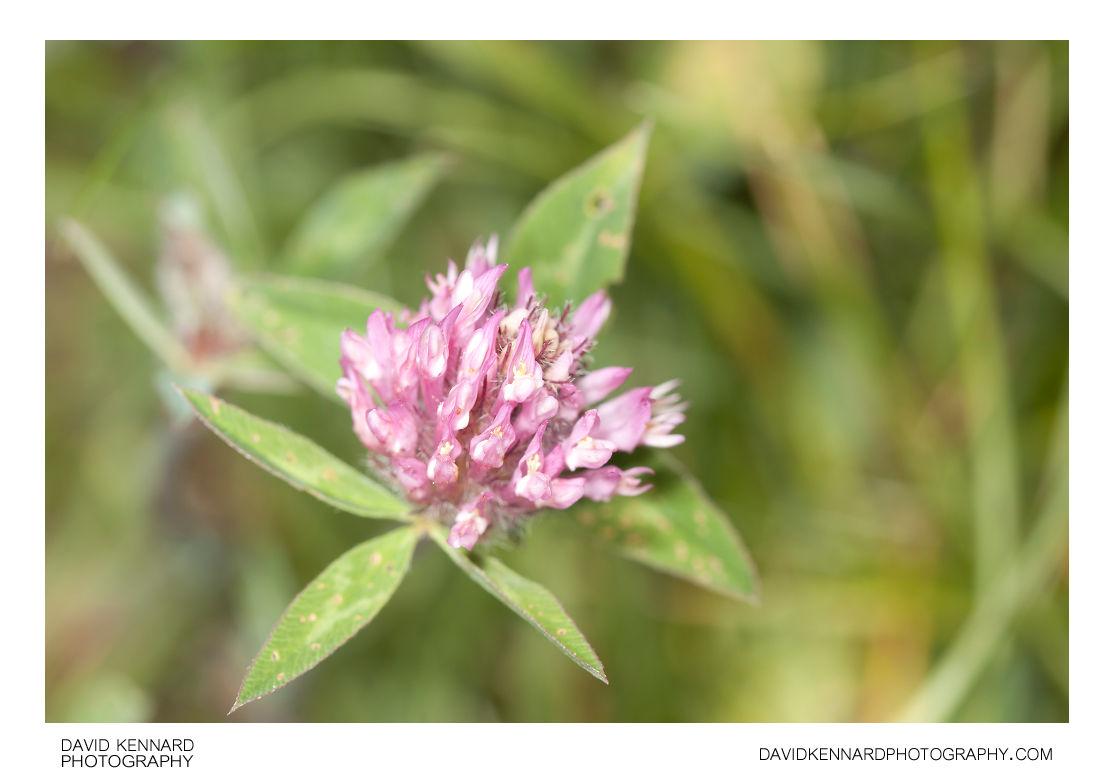 Red Clover (Trifolium pratense)