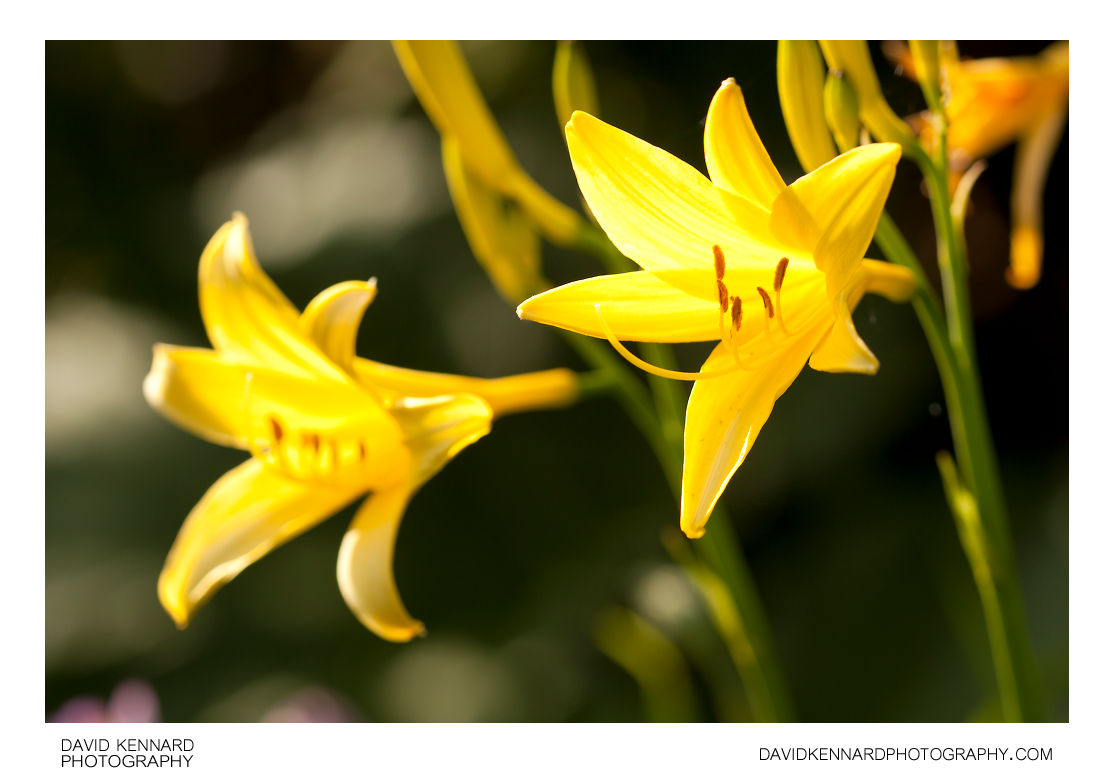 Yellow Day-lily flowers