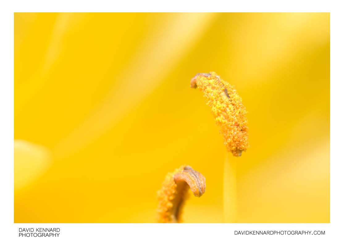 Stamens of a Yellow Day-lily flower