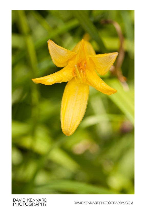 Yellow Day-lily flower