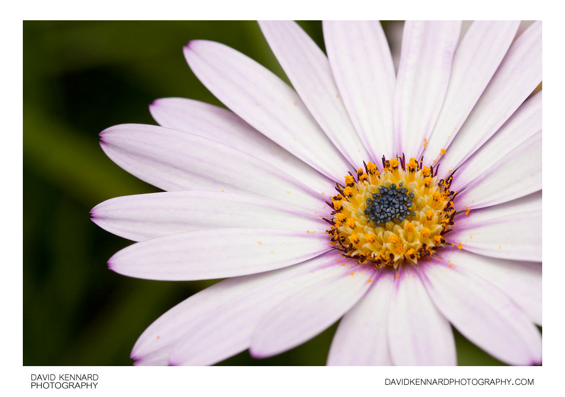Osteospermum ecklonis flower