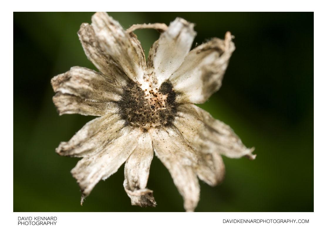 Receptacle of spent Osteospermum ecklonis flower