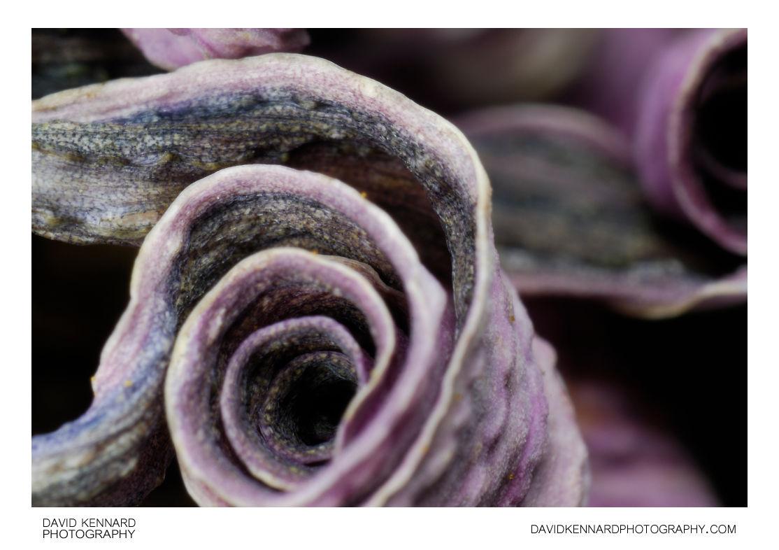 Curled Osteospermum ecklonis flower petals