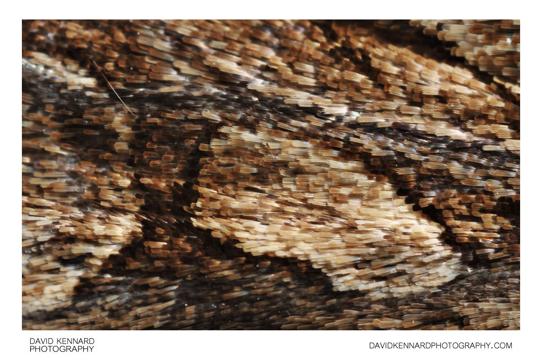 Dark Arches (Apamea monoglypha) moth scales