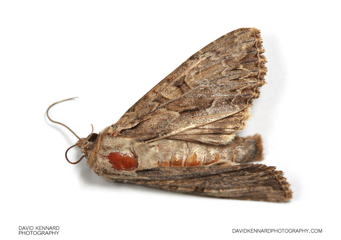 Dark Arches (Apamea monoglypha) moth (dead)