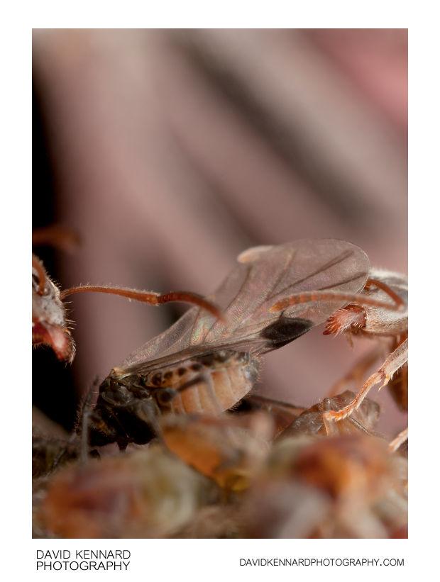 Lasius niger farming Anoecia cornicola