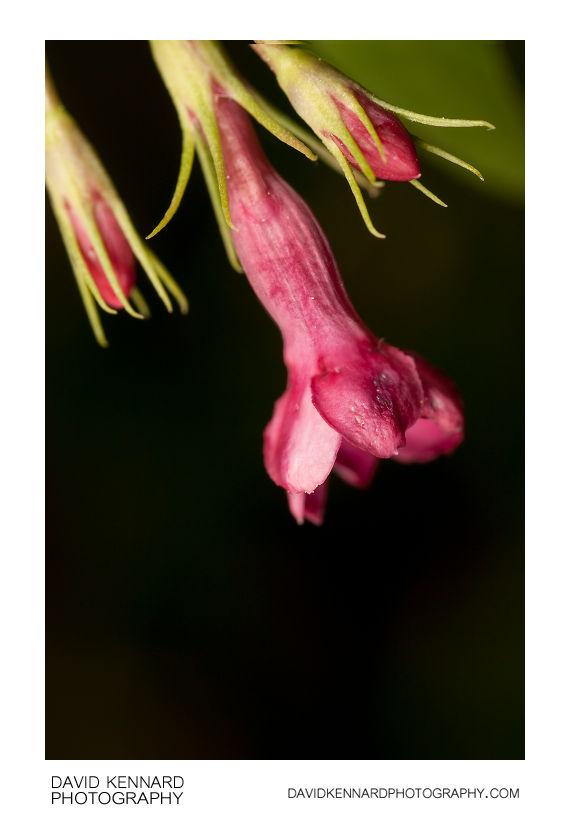 Red jasmine (Jasminum beesianum) flower and buds