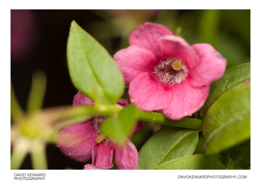 Red jasmine (Jasminum beesianum) flower