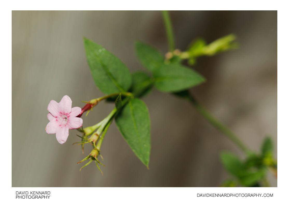 Red jasmine (Jasminum beesianum)