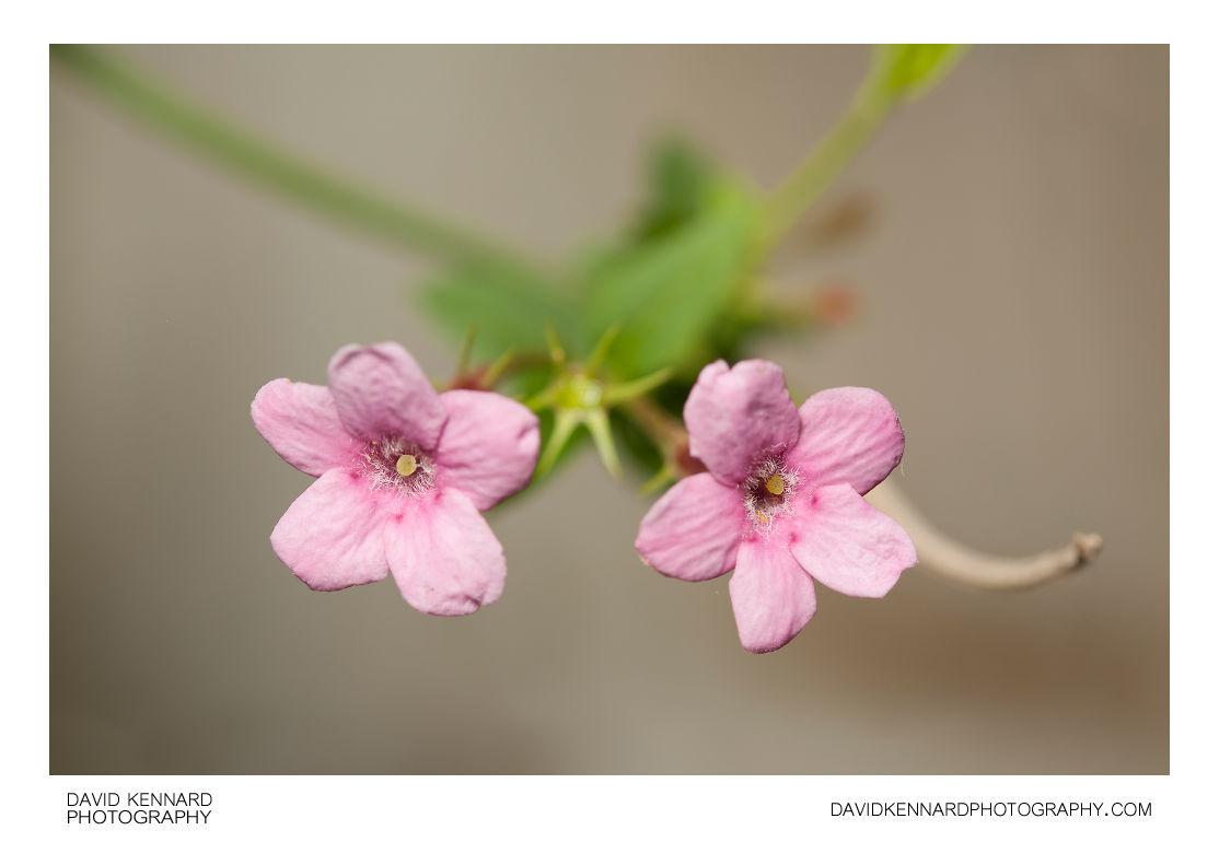 Red jasmine (Jasminum beesianum) flowers
