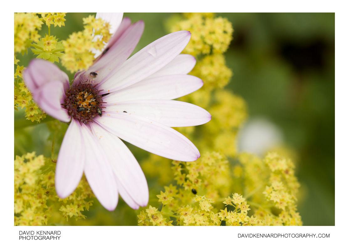 Osteospermum ecklonis and Alchemilla mollis flowers