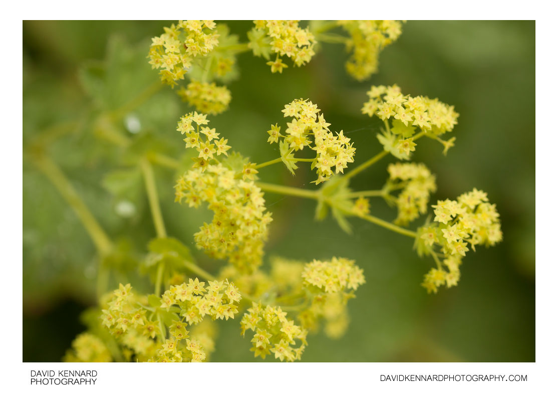 Lady's Mantle (Alchemilla mollis) flowers