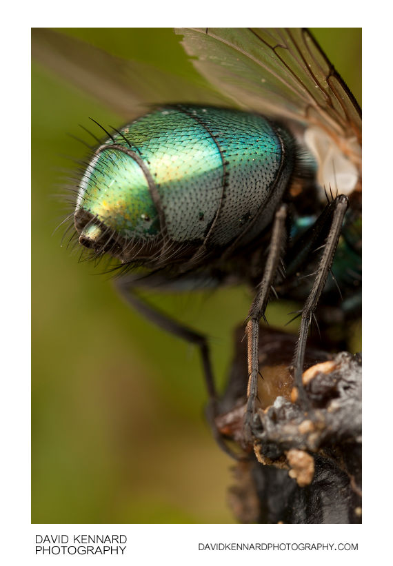 Green-bottle fly (Lucilia sp.) abdomen