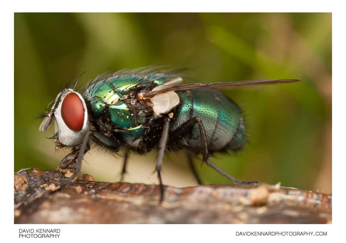 Green-bottle fly (Lucilia sp.)