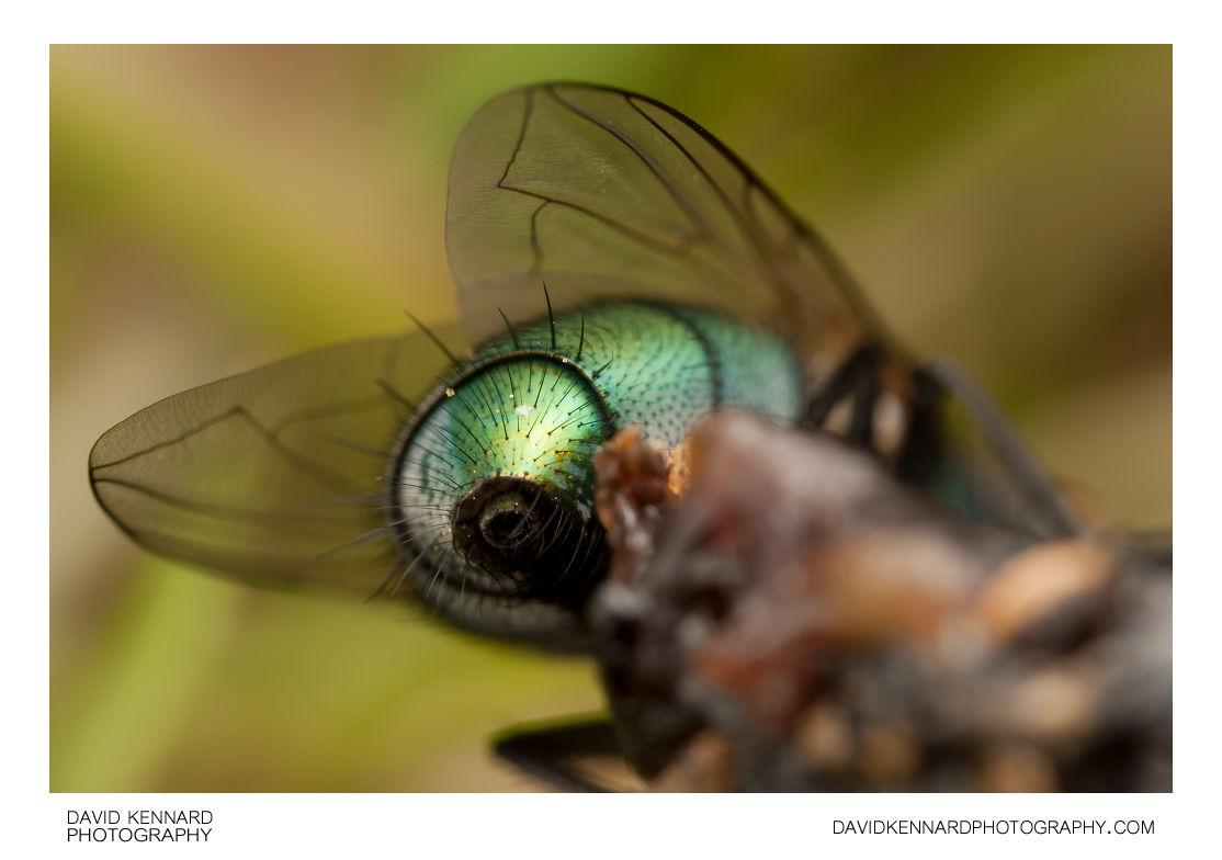 Green-bottle fly (Lucilia sp.) abdomen