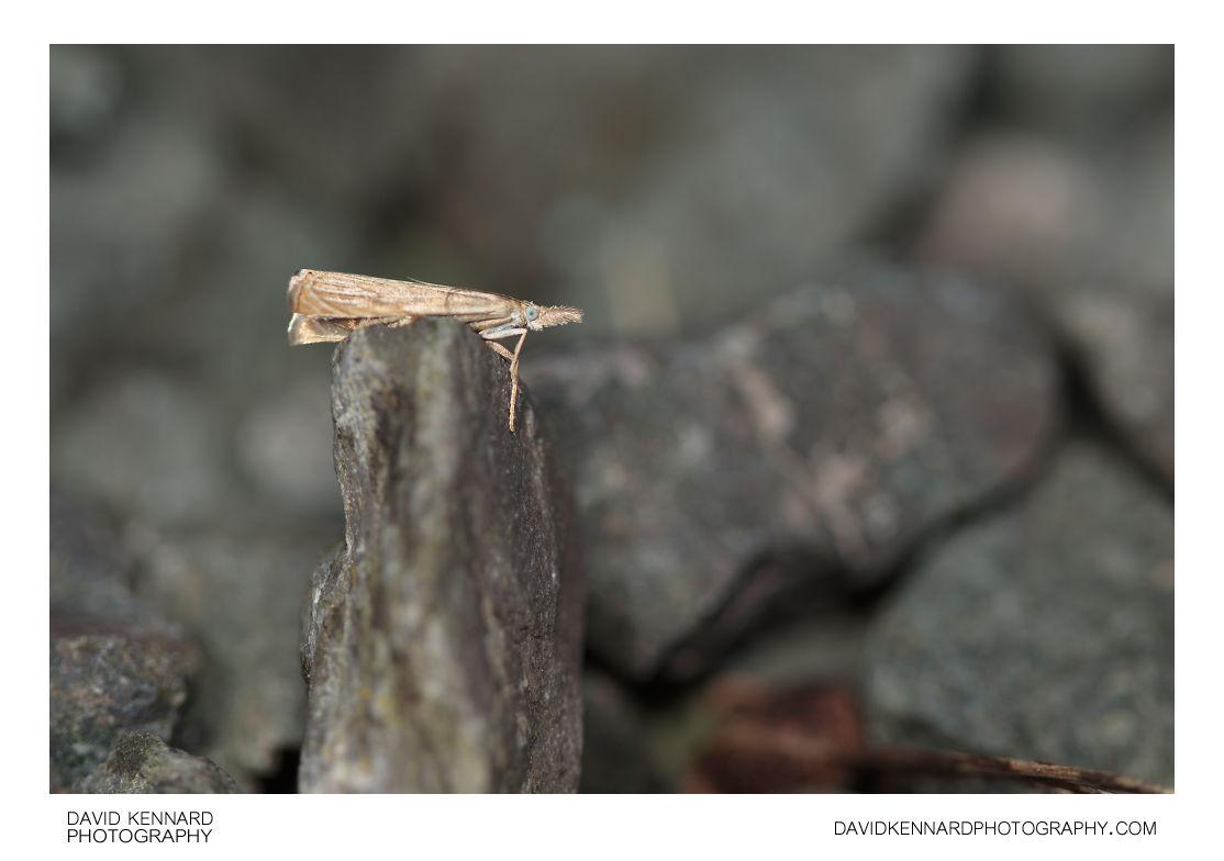 Garden Grass-veneer moth (Chrysoteuchia culmella)