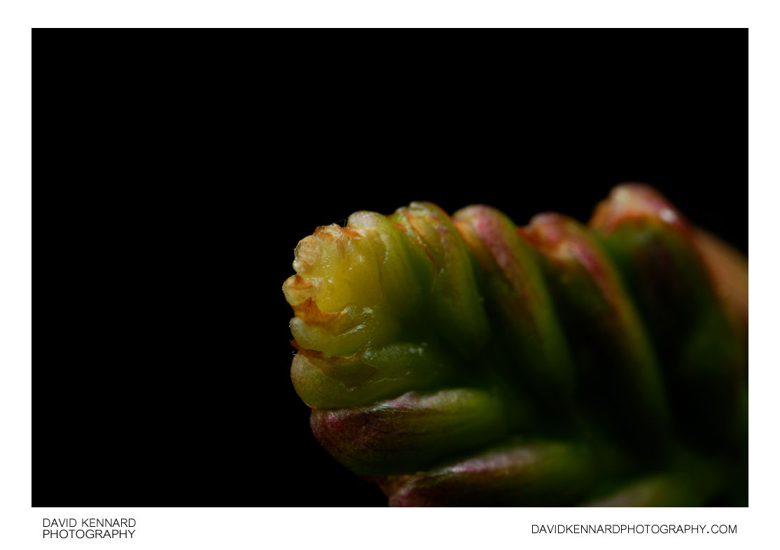 Crocosmia flower spike tip
