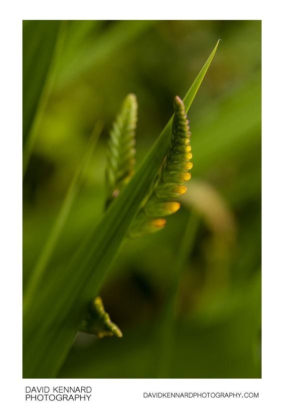 Crocosmia leaf and budding flower spikes