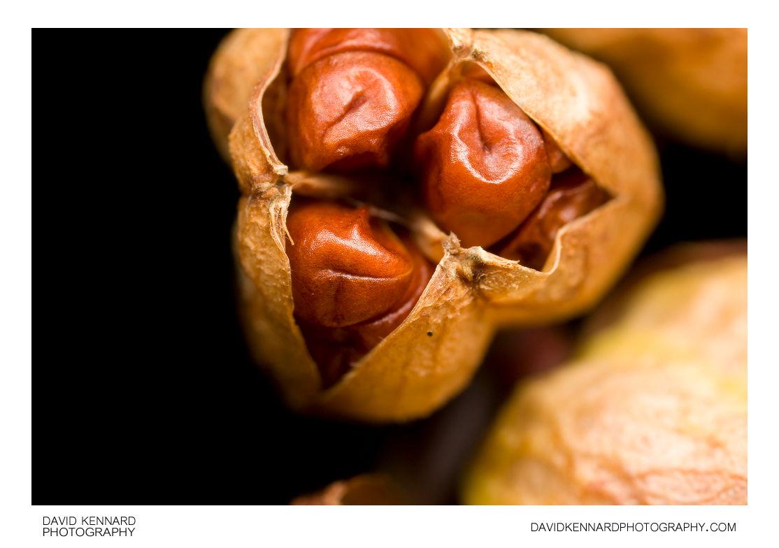 Crocosmia seed pods (open)