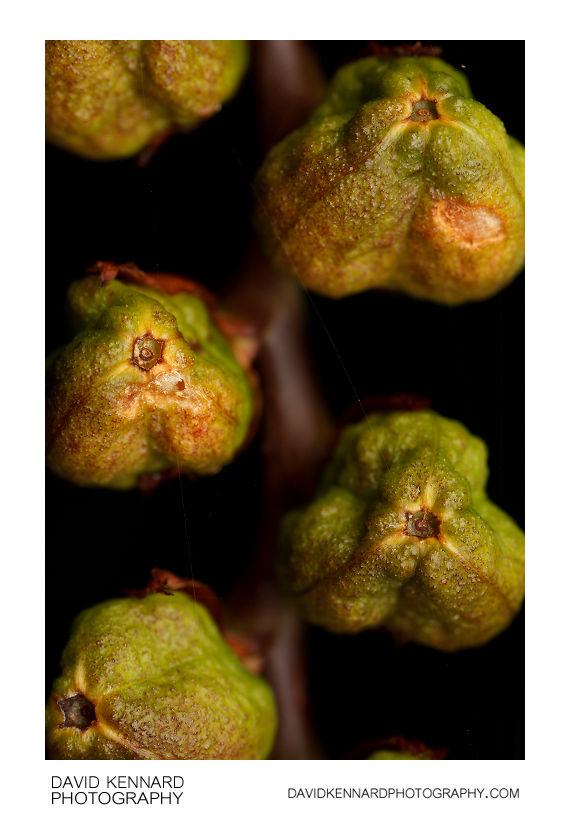 Crocosmia seed pods