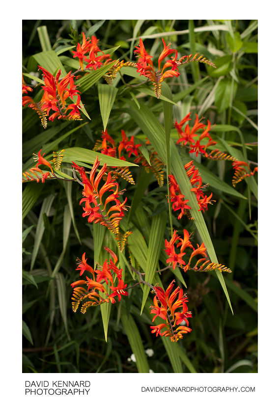 Flowering Crocosmia