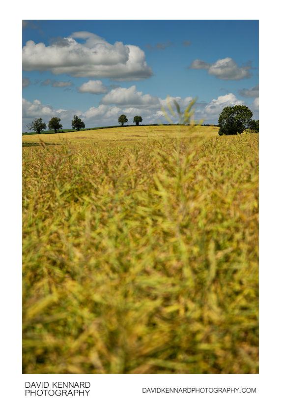 Field of oilseed rape on Lubenham Hill
