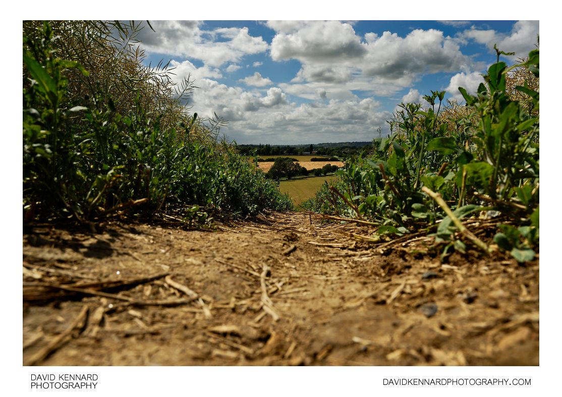 Path through oilseed rape field on Lubenham Hill