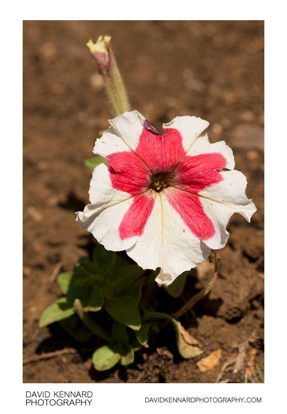 Petunia x Hybrida 'Frost' Pink & White